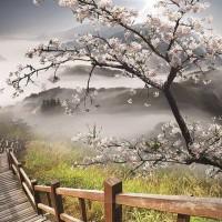 Kora tavasszal kivirágzott fa fotótapéta  - 12022