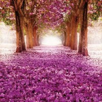 Kivirágzott cseresznyefasór fotótapéta - 2378